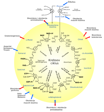 krebsov-ciklus